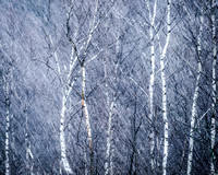 Birches In The Snow by Sean Goswell